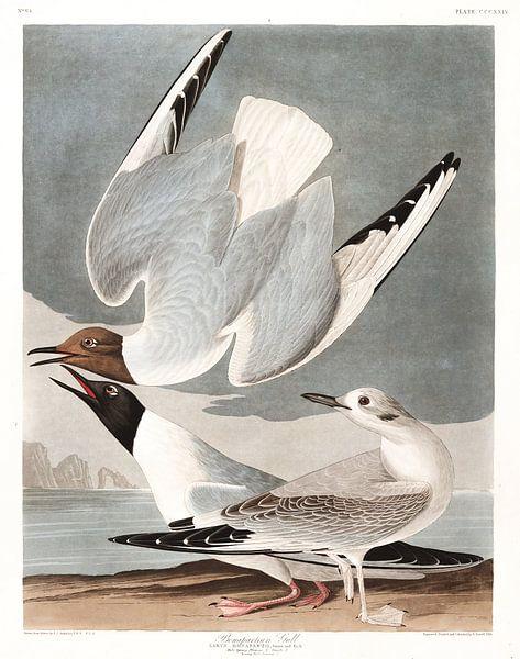 Kleine Kokmeeuw van Birds of America