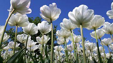 Weiße Tulpen van Kristina Büssow-Giersch