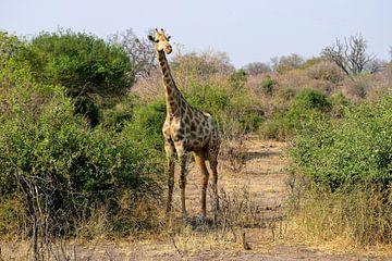 Jonge Giraf op verkenning van Merijn Loch