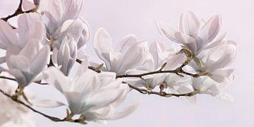 Magnolie von Violetta Honkisz