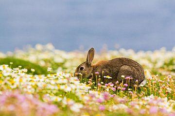 Konijn aan het eten tussen de bloemen op Skomer eiland in Pembrokeshire in zuidwestelijk Wales Engel van Ramon Harkema