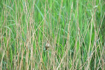 Ein kleiner Vogel im Schilf von Gerard de Zwaan