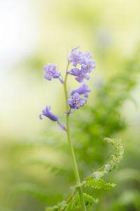 Wilde hyacinten in het beukenbos von Ronald De Neve
