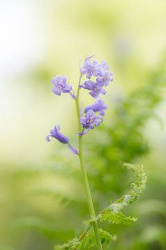 Wilde hyacinten in het beukenbos van