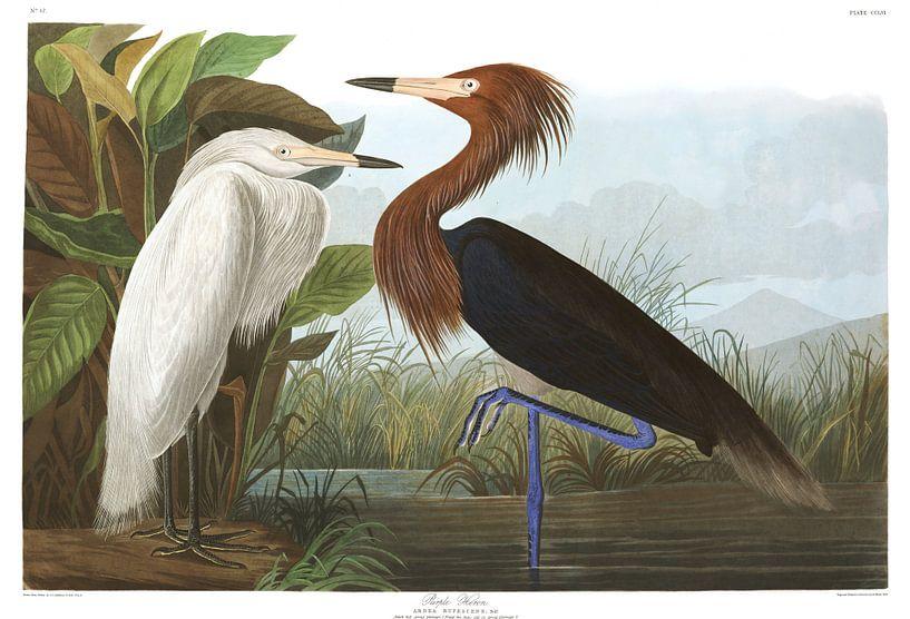 Purperreiger van Birds of America