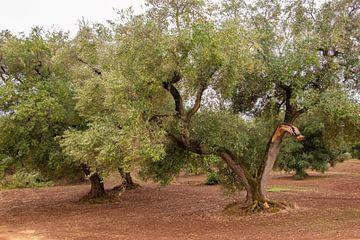 Sfeerfoto van olijfbomen in Puglia van Bianca ter Riet