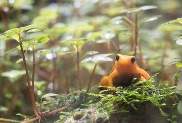 Oranje Kikker. van Anjo ten Kate