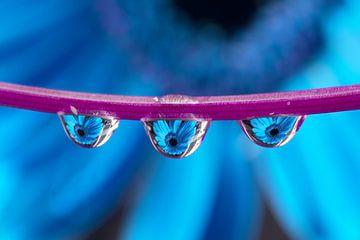 Triplet Gerbera (blauw) van Jacqueline Gerhardt
