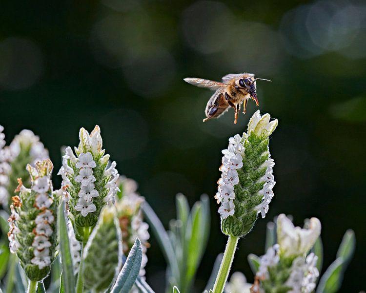 Apismellifera Western Honey Bee van Graham Forrester