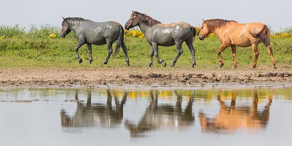 Konikpaarden in spiegeling - Oostvaardersplassen