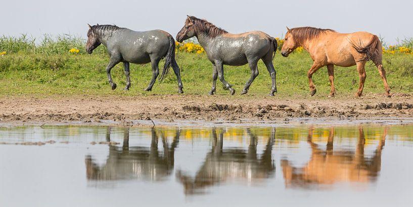 Paarden| 'Geschilderde konikpaarden' - Oostvaardersplassen van Servan Ott