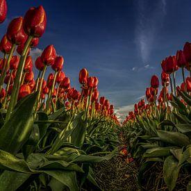 Rode tulpen in lijn van Erik Keuker