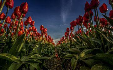 Rote Tulpen in einer Reihe von Erik Keuker