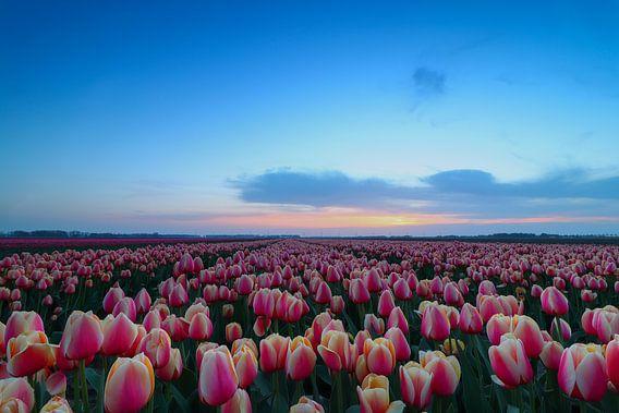 Tulpenveld van Peter Abbes