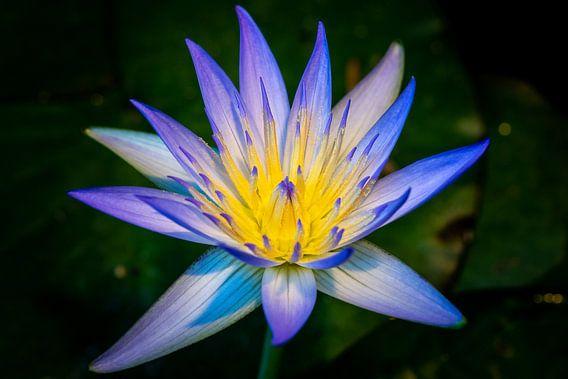 Heilige lotus van Adriaan Westra