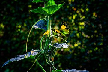 Vlinder in groentetuin van ellenilli .