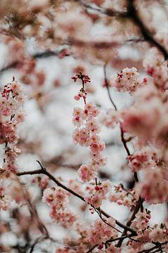 Rosa Kirschblüte von Yvette Baur