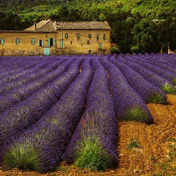 Lavendel-Farm