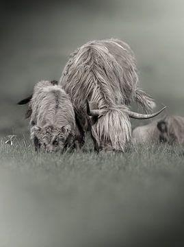 Grazende Schotse Hooglanders van Paula Darwinkel