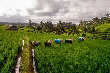 Arbeiter im Reisfeld Jatiluwih, Bali von Ellis Peeters