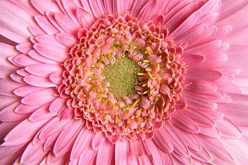 Gerbera rosa von Ingrid Bargeman