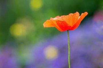 Mohn in Blumenwiese von Adri Klaassen