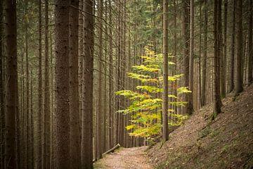 Junger Laubbaum im Pinienwald von