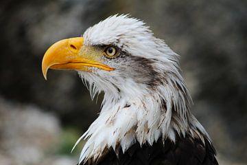 Weißkopfseeadler/Raubvogel von Berg Photostore