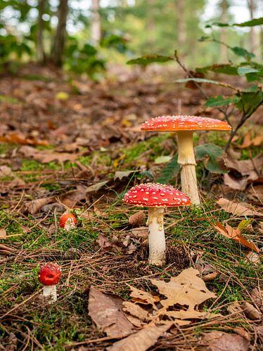 Groepje paddenstoelen (vliegenzwammen) in het bos