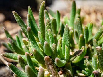 Vetplantje van Stijn Cleynhens