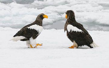 Stellers zeearenden op drijvend ijs van Harry Eggens