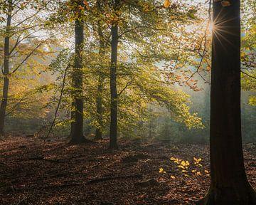 Een zonnester vanachter een boom in het Speulderbos van Anges van der Logt