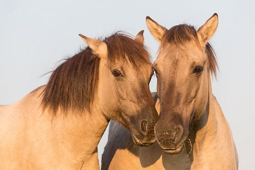 Paarden | Konikpaarden portret - Oostvaardersplassen van Servan Ott