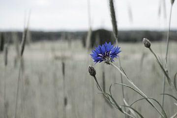 Blaue Kornblume von Ingrid de Vos - Boom