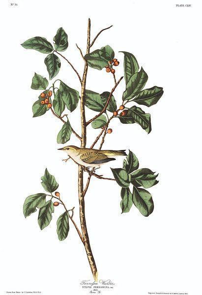 Tennesseezanger van Birds of America