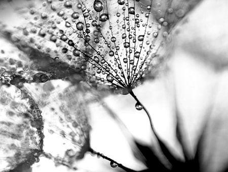 Dandelion blackandwhite