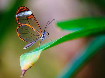 Een prachtige glasvleugelvlinder op een blad. van Claudio Duarte