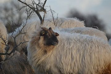 Schaf mit Geweih von pieter van den oever