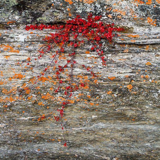 Rotsplant in rivieroever van Johan Zwarthoed