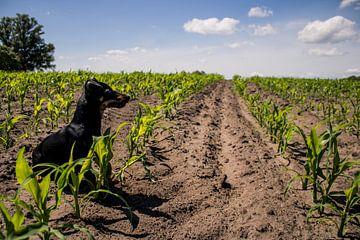 Zwarte Jack Russell in een maisveld in het voorjaar van Twentse Pracht