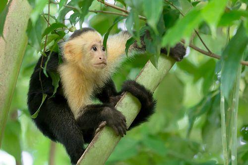 Bezorgde kapucijnaap in boom