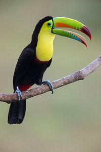Schwefelbrusttukan Costa Rica