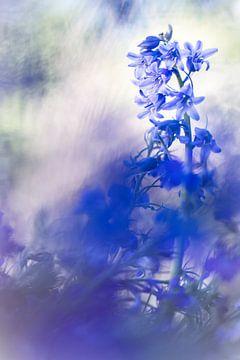 Bleu, bleu Hyacinthe sur Bob Daalder