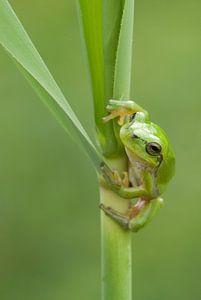 Baumfrosch am Schilfrohrstiel in grün