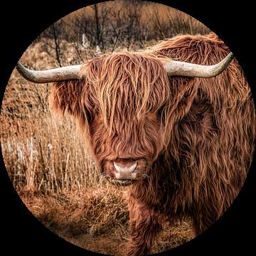 Schotse Hooglander van Alex Hiemstra