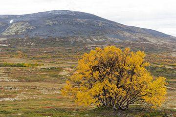 Goudgele boom in de herfst in Noorwegen van Barbara Brolsma