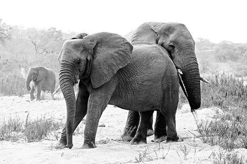 Afrikanische elefanten bilder auf leinwand poster bestellen ohmyprints - Elefanten bilder auf leinwand ...