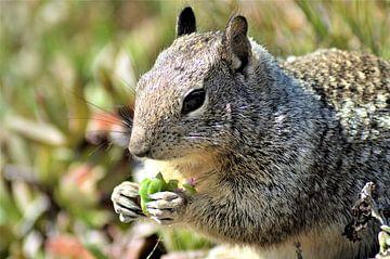 Eichhörnchen essen von Lisanne Rodenburg