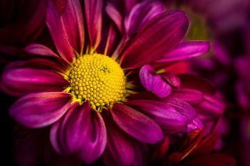Macro paars bloeiende chrysant van Dieter Walther