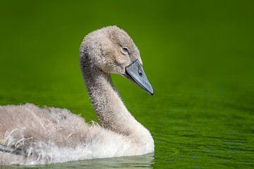 Jonge baby zwaan van Stephan Jansson